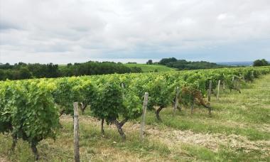 Des vignes jusqu'à l'horizon