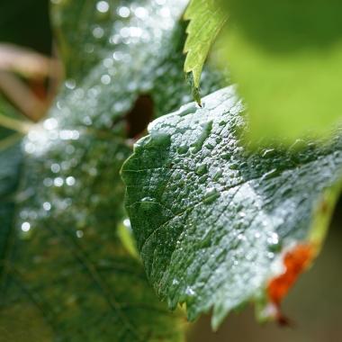 Vigne-GrosPlan